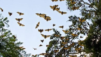 Photo of Coronavirus in bats affecting humans is rare: ICMR